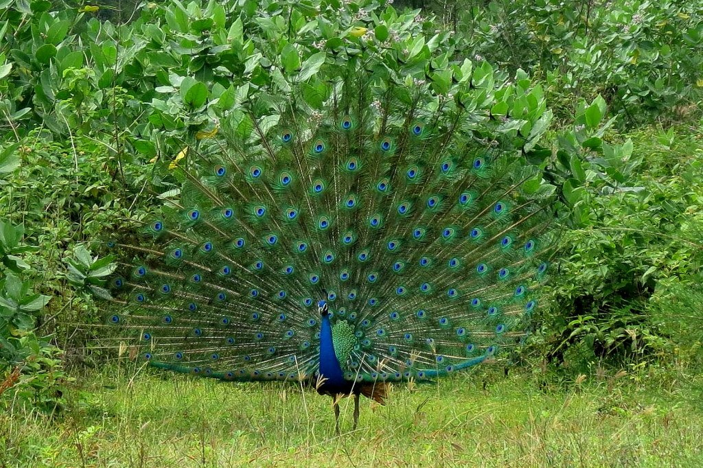 Anand Name 3d Wallpaper Shade Coffee And The Dancing Indian Peacock Ecofriendly