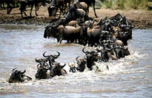 Mara River Crossing Safari