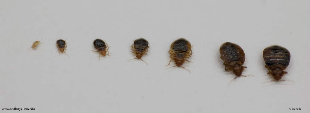Bed Bug Size Ecoraider Natural Bed Bug Killer