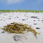 Energiegewinnung aus Algen anstatt aus Nahrungspflanzen