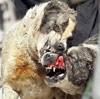 Ilegales y Crueles: Peleas de Perros | Ecosofía