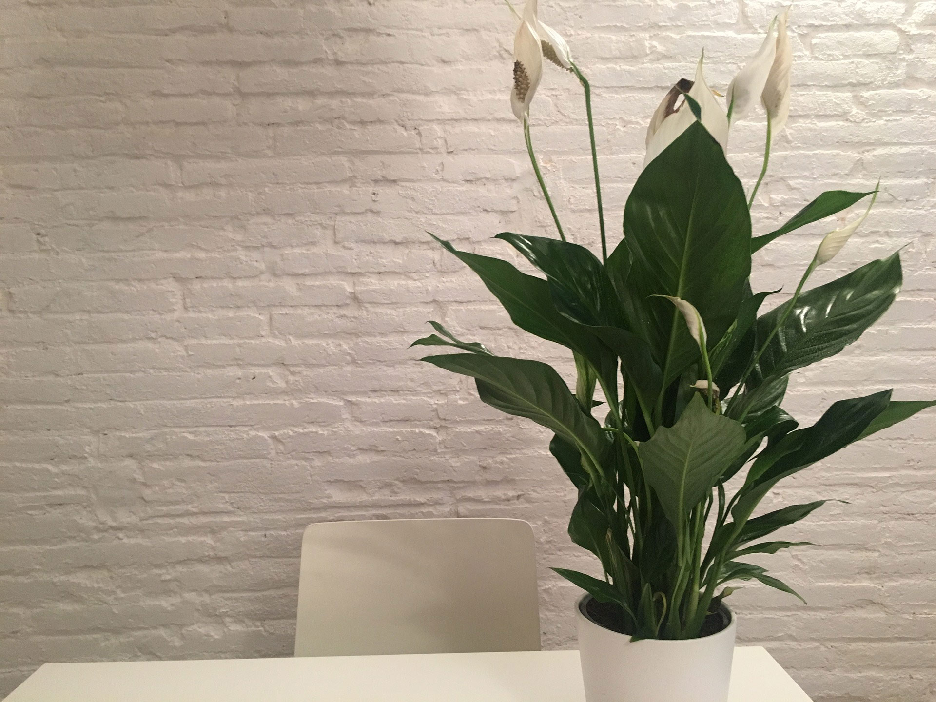 Indoor Plants For The Office Peace Lily Indoor Plants For The Office Eco Warrior Princess