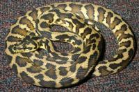 Irian Jaya Carpet Python | www.pixshark.com - Images ...