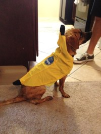 Amazon.com: Rasta Imposta Chiquita Banana Dog Costume ...