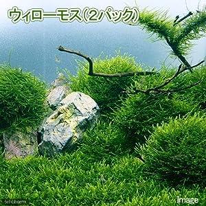 (水草)ウィローモス(無農薬)(2パック) 北海道航空便要保温