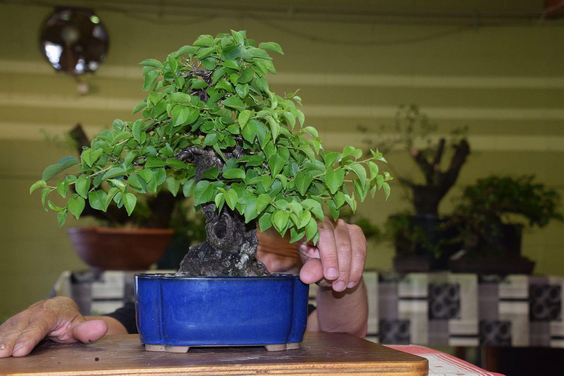 Bonsai Boom Verzorgen : Bonsai boom kweken over eigen gevormde en opgekweekte bonsai