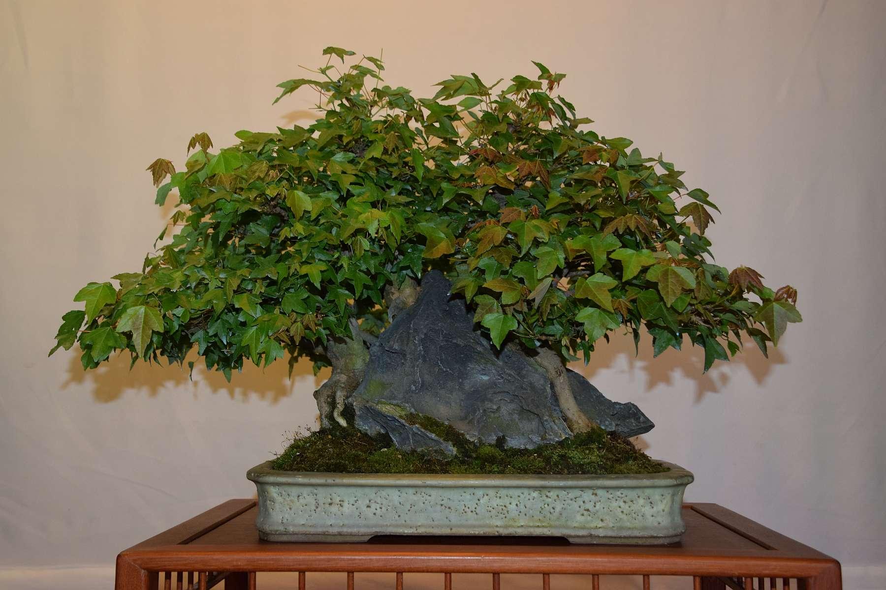 Bonsai Boom Verzorgen : Bonsai boom verzorgen mango boom manja bong with bonsai boom soorten