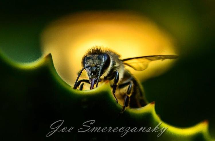 African honeybee close-up - photo by Joe Smereczansky