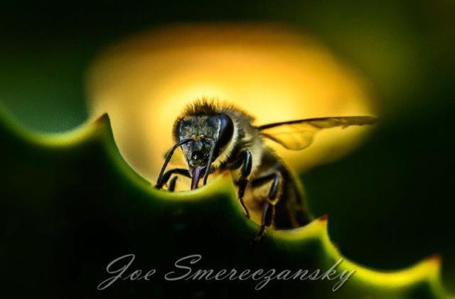 African honeybee close-up - photo by Joe Smereczansky
