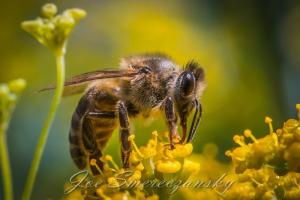 African honeybee close-up2 - photo by Joe Smereczansky