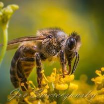 African honeybee close-up2 - photo by Joe Smereczansky