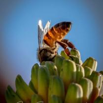 African honeybee close-up4 - photo by Joe Smereczansky