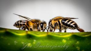 African honeybee - where research and passion meet - photo by Joe Smereczansky