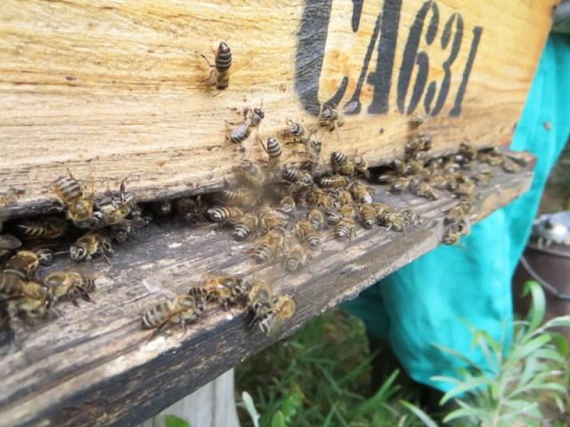 african honeybee hive rheenendal