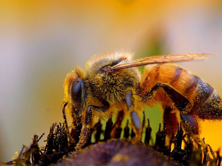 bee close-up - copyright-free-images.jpg
