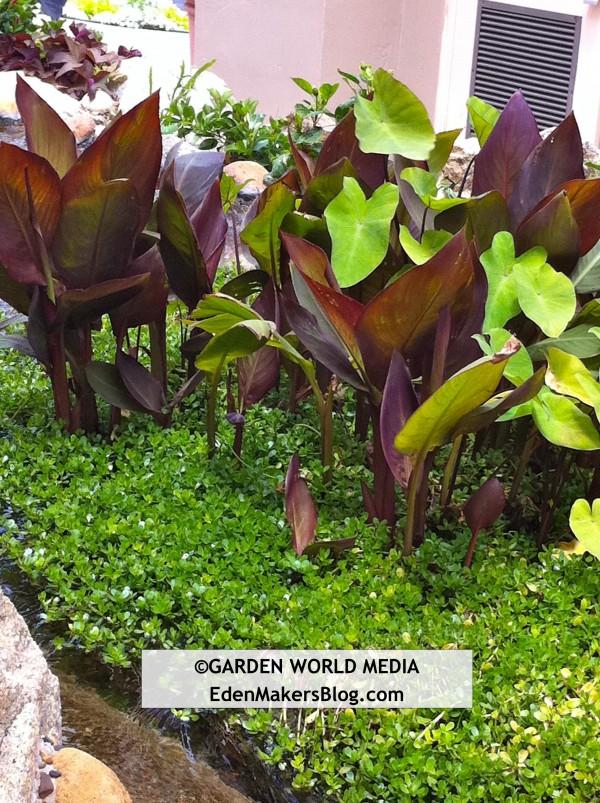 Exotic dark leaf canna lilies