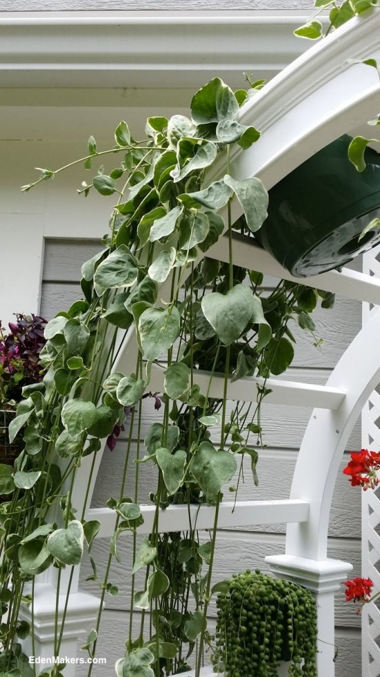 vinca-major-trailing-plant-hangs-from-top-of-white-arbor-and-drapes-over-arch-designed-by-shirley-bovshow-edenmaker-home-and-family-show