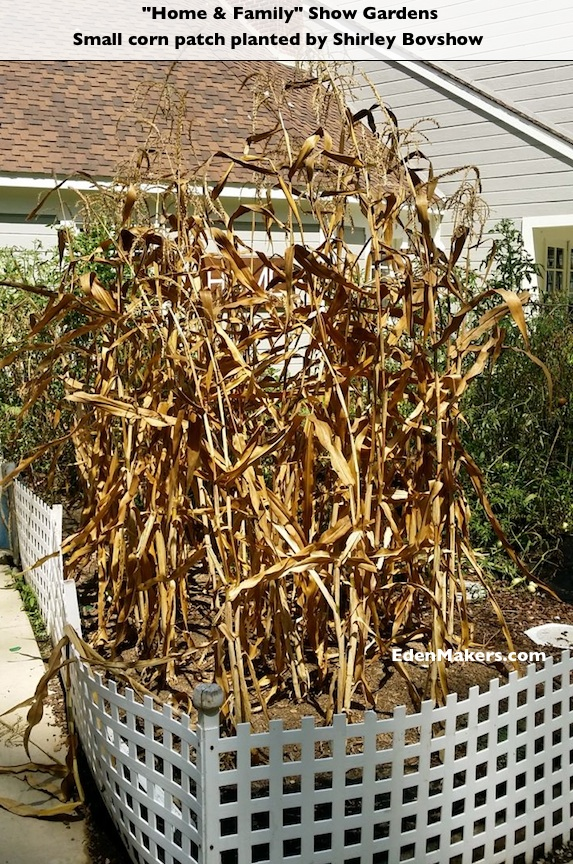 Dry-Corn-Plants-Stalks-Home-and-Family-Show-Gardens-Shirley-Bovshow-EdenMaker