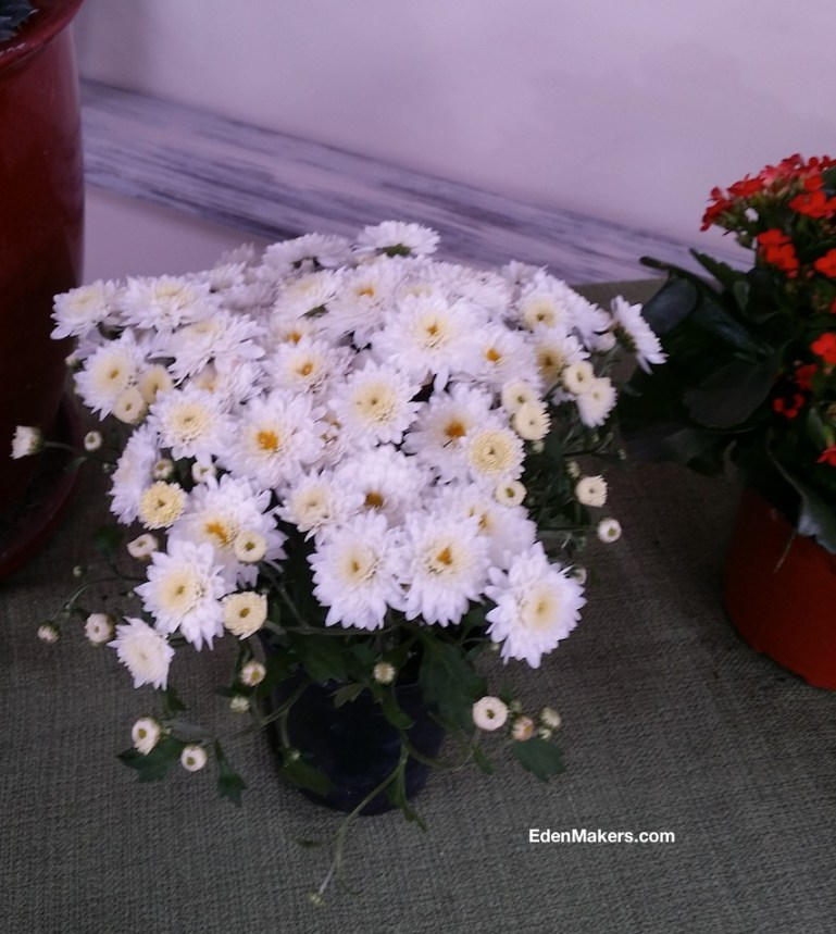 chrysanthemums-poisonous-to-dogs-edenmakers-blog