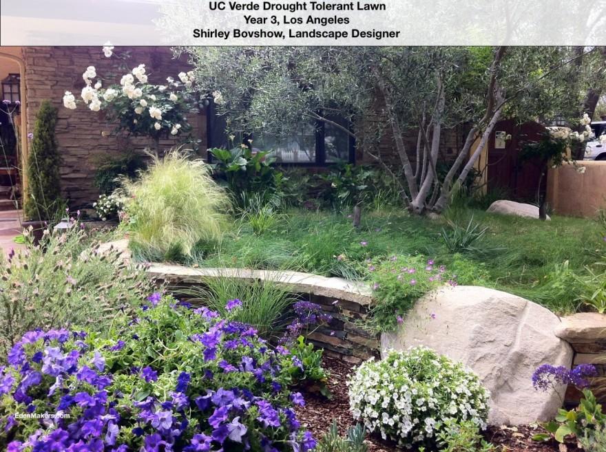 green-uc-verde-lawn-in-los-angeles-year-3-lavender-petunias-edenmakers-blog