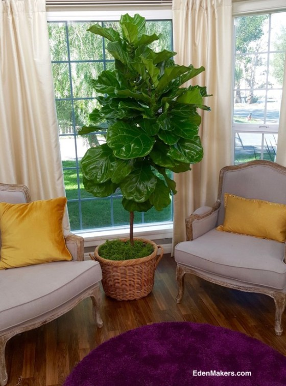 tall-ficus-lyrata-wicker-container-bedroom-plant-screen-privacy-edenmakers-blog