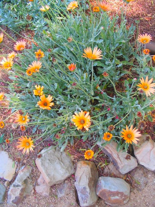 Orange Drought Tolerant Plant for Garden Eden Makers Blog by
