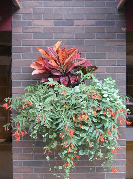 croton-angel-wing-begonia-container-garden-chicago-street