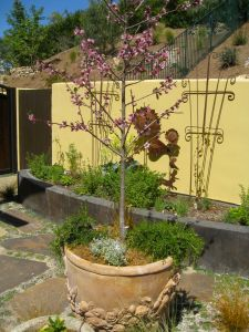 nectarine tree in container for small garden