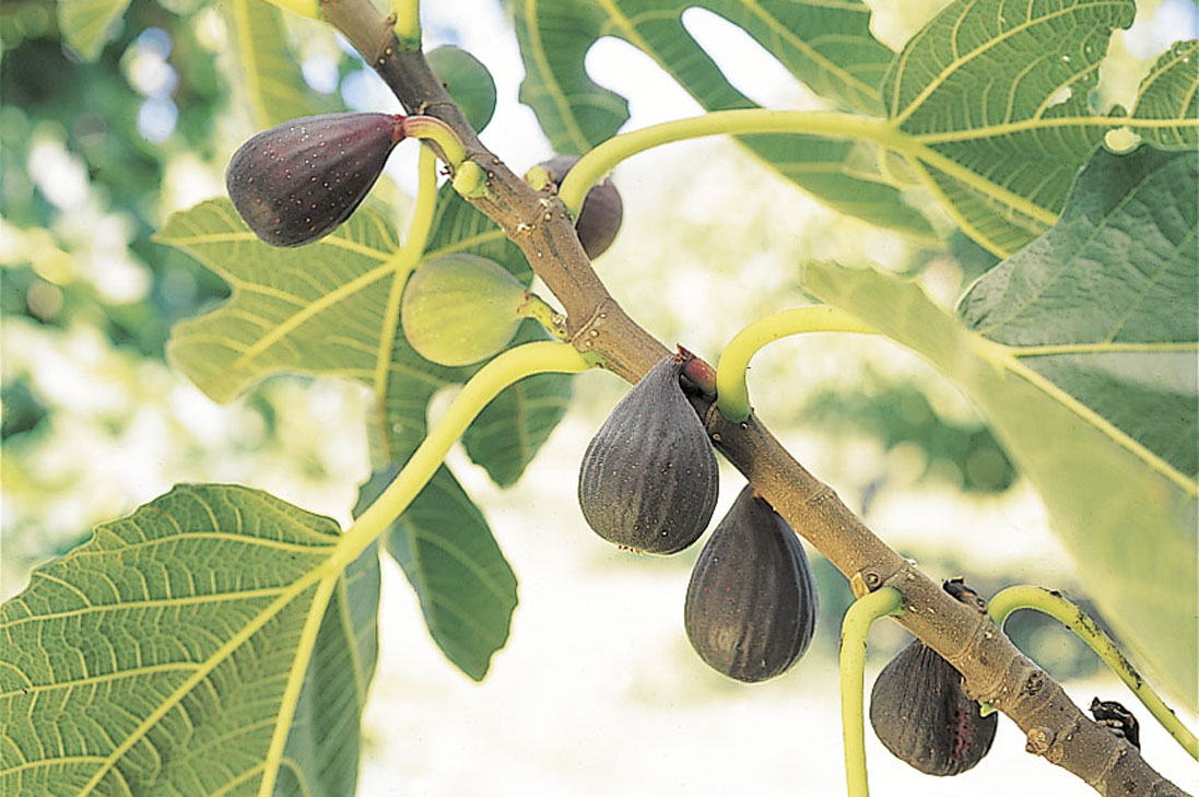 Black List Bordeaux Violet De Bordeaux Fig Edible Landscaping