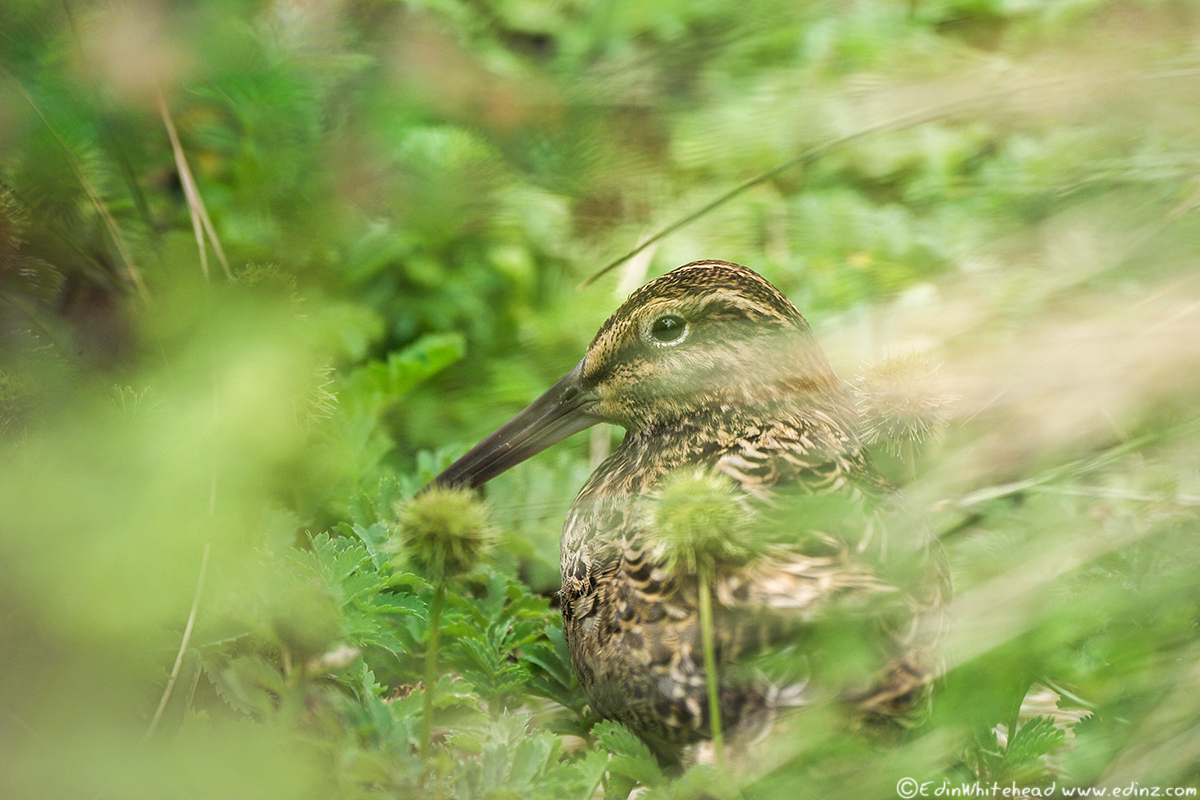 Enderby_auckland_snipe_tw7_5584-edit6x4web.
