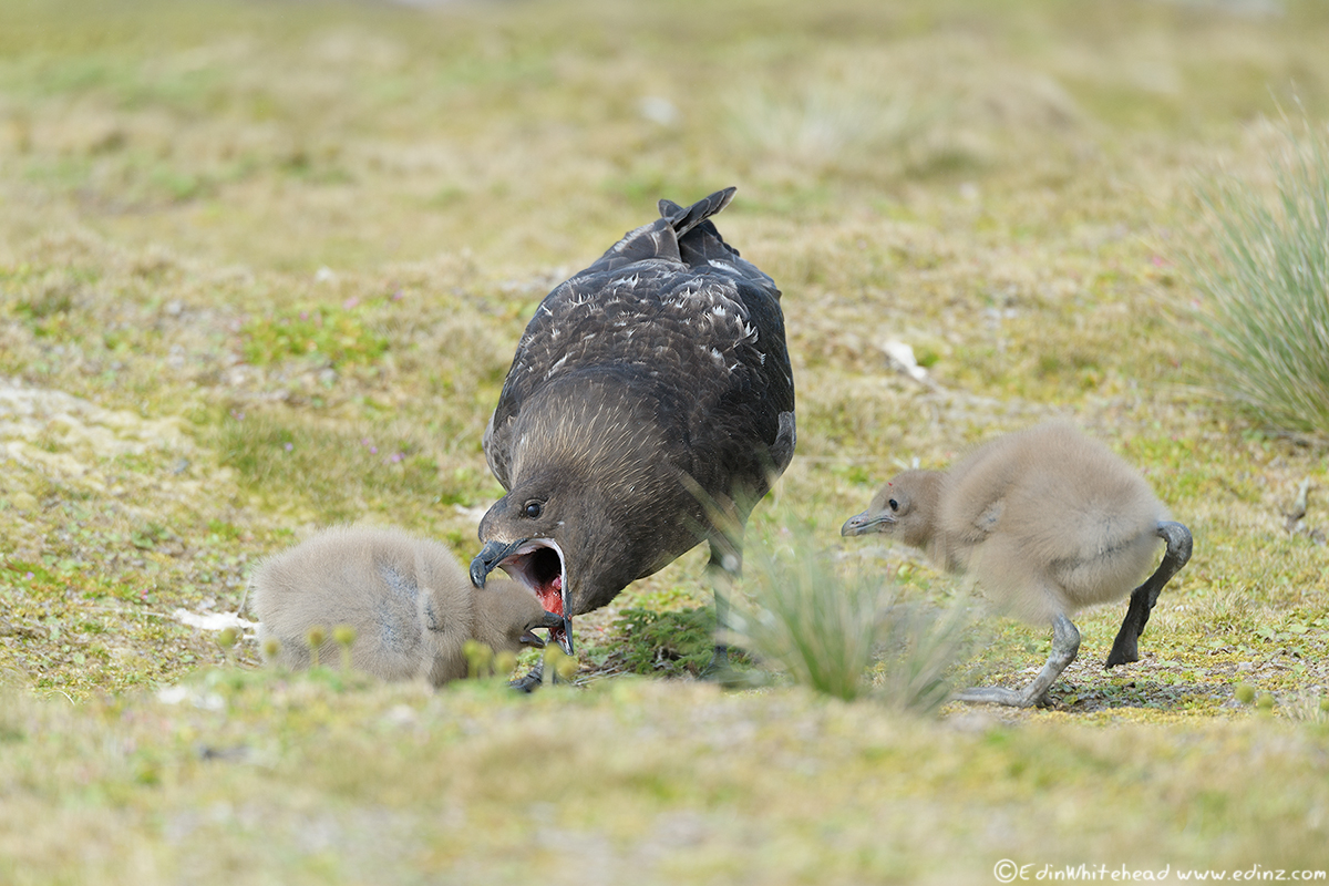 skua_chicks_feed_tw7_5421-edit6x4web.