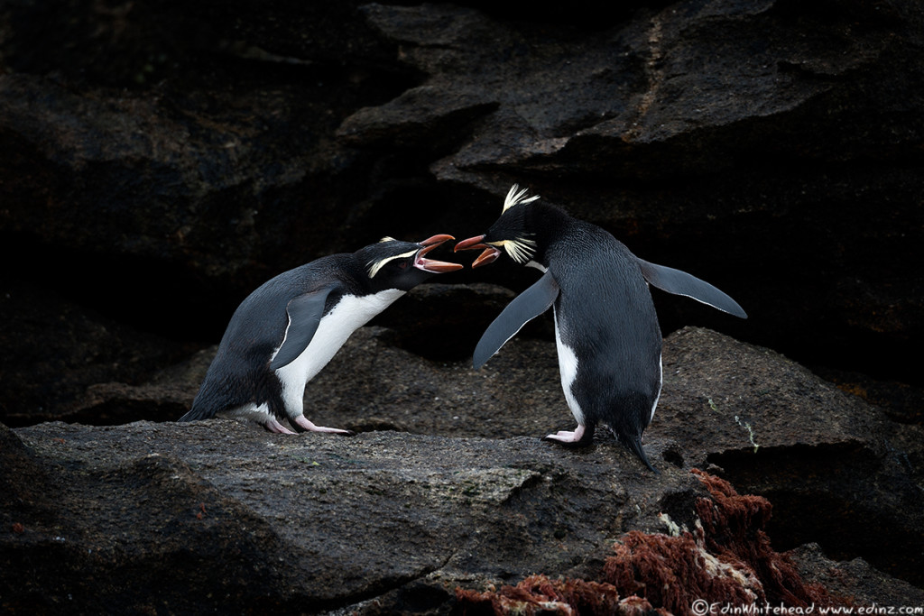snares_penguins_tw7_3761-edit6x4web.