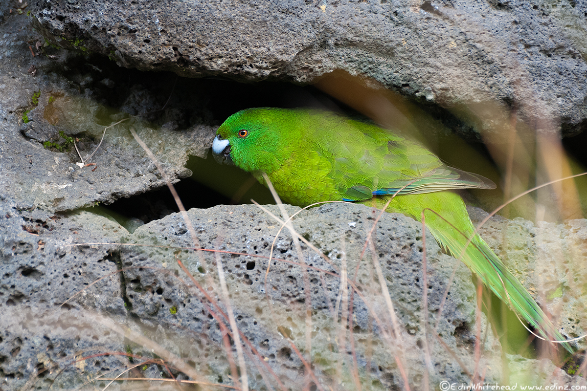 ANTIPODES_PARAKEET_EAW_8296-EDIT6x4Web.