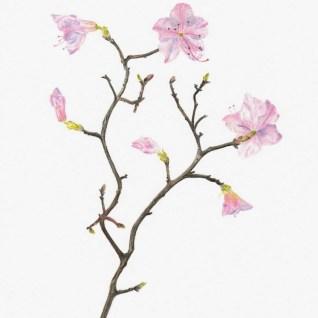 Rhododendron mucronulatum Korean Rhododendron Copyright Edna Greig