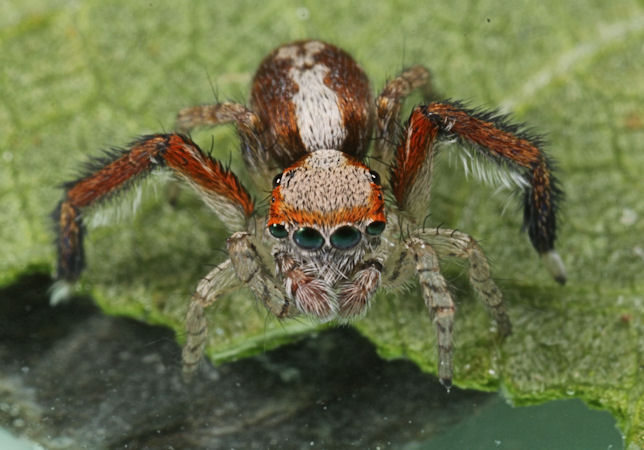 Spiders of North-West Europe, identify, information and pictures