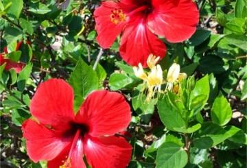 thumbnail indicador natural flor de hibisco