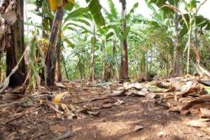Most in Karagwe live on banana.