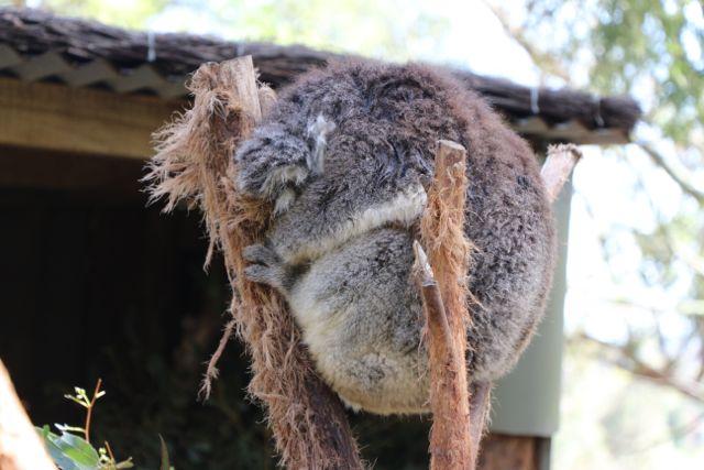Ballarat Koala
