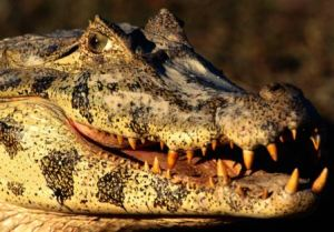Alligator_Big_Teeth