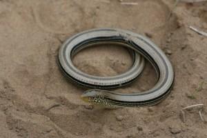 Slender_Glass_Lizard_(Ophisaurus_attenuatus)