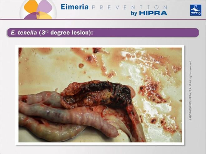 E-tenella-3rd-degree-lesion
