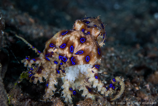 Blue Ring Octopus with Eggs