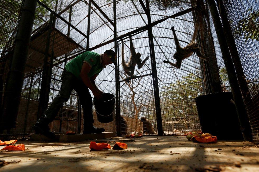 Un trabajador deja papaya en el suelo de la jaula de los monos araña, en el zoo Paraguana de Punto Fijo, Venezuela.