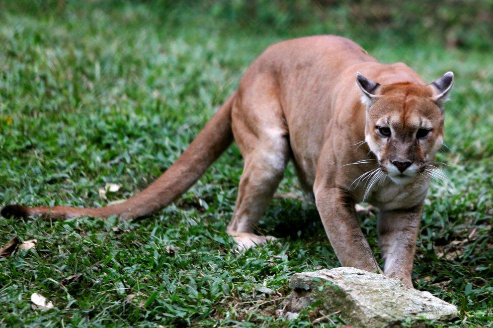 A pesar de los esfuerzos de los trabajadores del zoo de Caricuao, unos 50 animales han muerto de inanición en los últimos seis meses, según ha denunciado el sindicato del Instituto Nacional de Parques (Inparques), la institución encargada de supervisar los parques y los zoológicos públicos del país. En la imagen, un puma del zoo Caricuao, en Caracas (Venezuela), el 12 de julio de 2016.