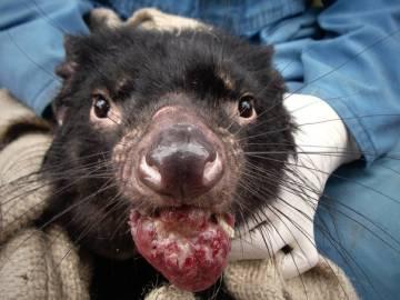 Un demonio de Tasmania, con el cáncer.