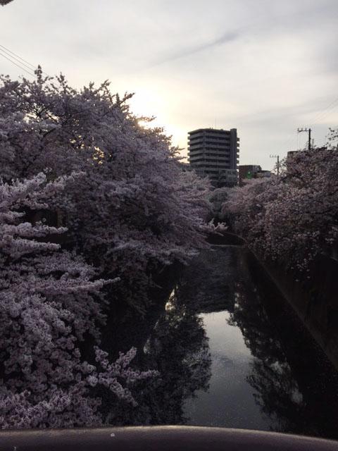 syakusakura02