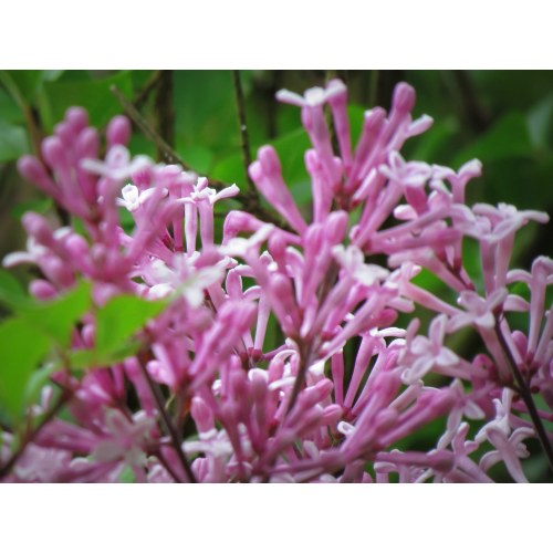 Medium Crop Of Dwarf Korean Lilac