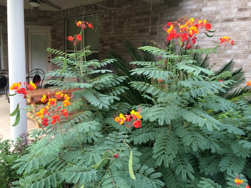 Large Of Pride Of Barbados