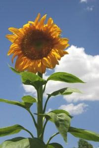 sunflower-CRW_4586
