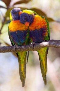 dois_papagaios_a_namorar-1